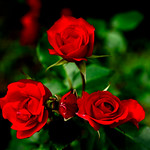 Red Rose in Kamakura Museum of Literature : 赤薔薇 thumbnail