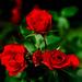 Red Rose in Kamakura Museum of Literature : 赤薔薇