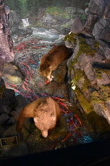 Brown Bears (Adventurer Dustin Holmes) Tags: 2018 wondersofwildlife museum brownbear bear fishing stream alaska animal animals