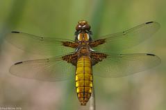 Tilted (Paul:Ritchie) Tags: anisoptera arthropoda broadbodiedchaser dragonflies england insecta insects libellula libelluladepressa libellulidae libellulinae nature nikond90 odonata paulritchie sigma105mmf28macro somerset westhaymoor wildlife wwwhampshiredragonfliescouk
