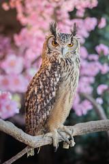 Indian Eagle-owl (BP Chua) Tags: owl bird eagleowl japan kyoto arashiyama owlforest nikon nikond800e 50mm
