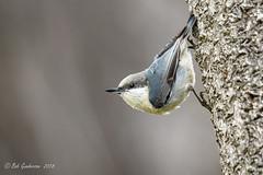 Pygmy Nuthatch (Bob Gunderson) Tags: birds california fortmason northerncalifornia nuthatches pygmynuthatch sanfrancisco sittapygmaea
