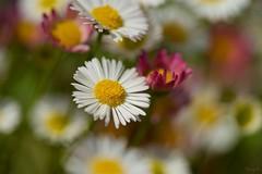 ゲンペイコギク Erigeron (takapata) Tags: sony sel90m28g ilce7m2 macro nature flower