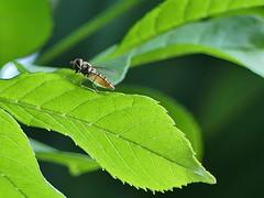 P1010470 (cliff lauri) Tags: hoverfly gethampshire garden panasonicfz300 nature wildlife