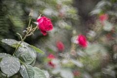 _DSC6575 (kymarto) Tags: bokeh bokehlicious bokehphotography dof depthoffield flowers flowerphotography nature naturephotography beauty beautiful sony sonyphotography sonya7r2 oldlens vintagelens roses
