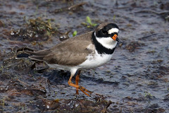 Semipalmated Plover...6O3A1414A (dklaughman) Tags: plover semipalmated bird bombayhooknwr delaware