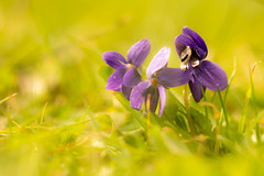 Violets and a visitor (odell_rd) Tags: violet beetle garden tamronsp90 ngc coth coth5