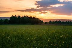 Good morning - Field view (der LichtKlicker) Tags: landscape sunrise sun clouds cloudporn field meadow wiese sonnenaufgang wolken bäume feld blumen morgen morning landschaft spring frühling fujifilm fuji xe1 xf1655mm lichtklicker