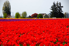Skagit Valley Tulips-155 (RandomConnections) Tags: roozengaarde skagitcounty skagitvalley washington washingtonstate skagitvalleytulipfestival