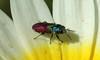 9696 Anthaxia scutellaris (jon. moore) Tags: malhadadesantamaria algarve portugal anthaxiascutellaris jewelbeetle coleoptera buprestidae
