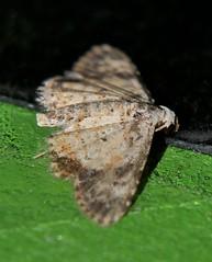 P1250463 (Steve & Alison1) Tags: 10mm wingspan 4mm long body