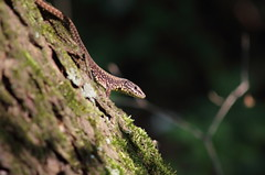 Wall lizard (ryorii) Tags: walllizard lucertola common oasibassone italy italia reptiles reptile rettile natura nature tree trunk moss podarcismuralis bark corteccia wood bosco