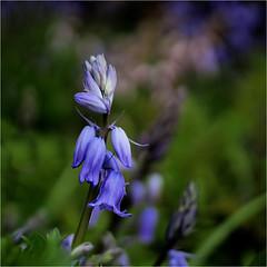 blue bells........... (atsjebosma) Tags: klokjes blauw macro bokeh blue flowers bloemen garden tuin atsjebosma groningen thenetherlands nederland april 2018 nature bluebells coth5 ngc