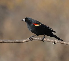 Aside (Slow Turning) Tags: agelaiusphoeniceus redwingedblackbird male bird perched tree branch stick winter spring southernontario canada