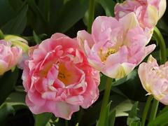 P1050348Tulip festival, Washington (Alma Dzib-Goodin) Tags: tulips skagitvalley washingtonstate colors flowers simplybeauty