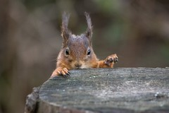 Ok Who stole the nut! (beverleythain) Tags: cute portrait wildlife animals nature ears tufts claws paws fur eyes forrest woods scotland native red redsquirrel