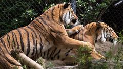 Malayan Tiger brothers (Bob Worthington Photography) Tags: zoo041518 malayan tigers brothers canon70200f28lisii sandiegozoo