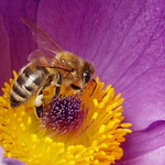 Bee in Large Spring Flower thumbnail