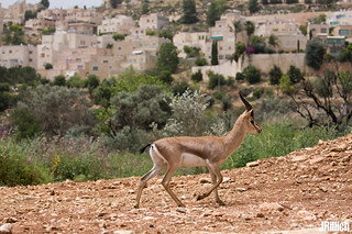 Mountain gazelle @ Gazelle Valley, Jerusalem 2018