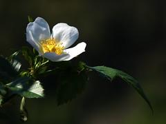 Buon 1 Maggio a tutti !!! (fotomie2009) Tags: dog rose rosa wild flower nature spontaneous spontaneo flora fiore white ngc