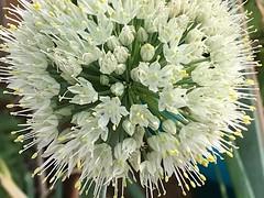 Morning Garden Delights💐 (Chic Bee) Tags: closeup macro flowers whiteflowerball allium redonion sooc tucson arizona southwesternusa americansouthwest flowercluster