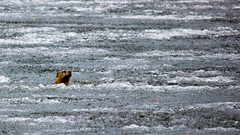 Wow, Winter must be over, It's getting 'Otter'. (Bob's Digital Eye) Tags: april2018 bobsdigitaleye canon canonefs55250mmf456isstm fauna frozenlake riverotter springthaw t3i wildlife flicker flickr h2o ice animal water lake