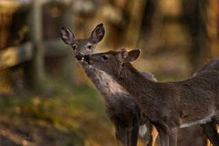Oh Deer!  8476