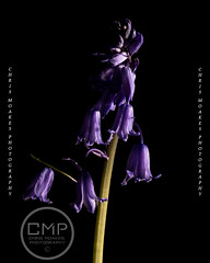 Bluebells, spring is finally here (Chris.Moakes) Tags: studio light macro falmouth cornwall kernow bluebell nature