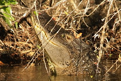 3S5X4750 Getting Ready to Bellow (Eileen Fonferko) Tags: alligator reptile animal nature wildlife bellowing
