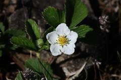 Wild strawberry (Hugo von Schreck) Tags: hugovonschreck canoneos5dsr flower blume blüte macro makro tamron28300mmf3563divcpzda010