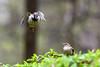House Sparrow Romance (dbifulco) Tags: nature behavior bird cherrytree housesparrow mating newjersey spring two wildlife
