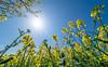 Colours of spring (johnnewstead1) Tags: landscape rape rapeseed blue bluesky sky starburst flare lensflare norfolk norfolksky norfolkskies sustead thurgarton yellow oilseedrape johnnewstead olympus em1 mzuiko