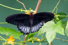 Scarlet Mormon (dpsager) Tags: butterfly chicago dpsagerphotography illinois judyistockbutterflyhaven peggynotebaertnaturemuseum scarletmormon
