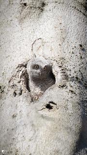 ''Découverte de la vie!''Petit-duc maculé-Eastern screech-owl