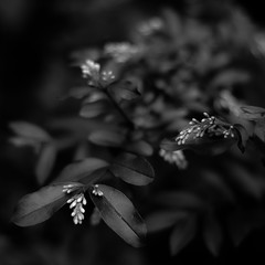 Flowering 003 (noahbw) Tags: d5000 dof nikon potawatomiwoods abstract blackwhite blackandwhite blur branches bw depthoffield flowers forest leaves light monochrome natural noahbw quiet shadow spring square still stillness woods lowlight dark darkness