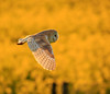 Barn Owl (microwyred) Tags: hawkbird beak owl carnivore birds beautyinnature animal closeup backgrounds wildlife birdofprey feather animalsinthewild animalshunting bird barnowl outdoors flying nature yellow brown animalwing