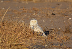 Snowy Owl (Amore_Photography) Tags: snowyowl owl bird birdwatching nature wildlife nikon photography nyc snow pretty rare explore outdoors beach eyes bright face migration
