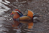 2018_04_0352 (petermit2) Tags: mandarinduck mandarin duck longshaw peakdistrict derbyshire