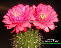 Trichocereus hybrid 'Gräsers Erfolg´ (Bloom pic #4 and stem growth example) (mattslandscape) Tags: gräsers erfolg´ erfolg grasers trichocereus aporocactus flagelliformis echinopsis robert candicans gräser kakteen hybrid hybride cactus cactusblooms cacti cactusflowers cactiblooms flickrechinopsisbloomgroup plant red