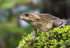 Sapo marino o de caña/ Giant cane toad (Rhinella marina) (Jacobo Quero) Tags: canetoad sapodecaña sapomarino bufomarinus rhinellamarina nature naturaleza wildlife amphibia herping anfíbio animal