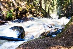 korkeakoski rapid in Kuopio 2 (VisitLakeland) Tags: korkeakoski river rapid water flow nature tree joki koski vesi luonto kevät spring