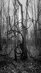 Old Tree 4 (Jeffery Womack) Tags: novi 2018earylyspring oldtree monochrome smartphonephotography nature water samsunggalaxy8plus blackandwhite dramaticmonochrome hikingtrails trees mayburystatepark michigan northville unitedstates us