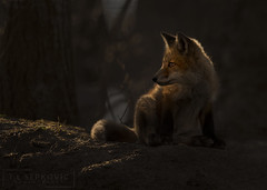 Sunkissed (T L Sepkovic) Tags: redfox fox vulpesvulpes mammal canid wildlife wildlifephotography nature canon canon5dmkiv promediagear lenscoat pawilds pennsylvania chasinglight sunset eveninglight forest woods