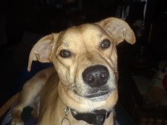 Portrait of Chucky (rabidscottsman) Tags: karinshaphotography dog chucky animal dachshundbasenjicross cute doggy smile