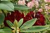 Black Magic (David A's Photos) Tags: rhododendron blackmagic may 2018 flowers hybrid portland multnomah county oregon haroldgreer jeanmariedemontaguexleo