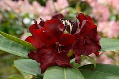 Black Magic (David A's Photos) Tags: rhododendron blackmagic may 2018 flowers hybrid portland multnomah county oregon haroldgreer jeanmariedemontaguexleo dark red