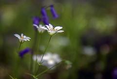 So graceful (photofitzp) Tags: bokek cubbingtonsouthwood flower greaterstitchwort hs2 spring warwickshire wildflowers closeup