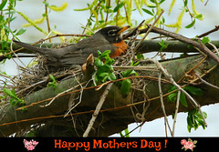 "Happy Mothers Day (Darrell Colby "" You Call The Shots "") Tags: mothersday happymothersday ivacolby robin nest pride love happiness celebrate londonontario ontario canada darrellcolby"