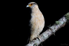 Darkness (Juan Anza) Tags: birdwatcher birding birdspics birdwatching birdofprey raptor raptors eagle hawk naturewatcher naturepics naturelover wildlifephotographer wildlifepics wildlife ngc