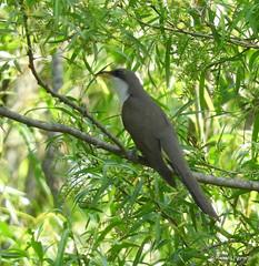 Yellow-billed Cuckoo_N3444 (Henryr10) Tags: coccyzusamericanus coccyzus yellowbilledcuckoo cuckoo avian bird vogel ibon oiseau pasare fågel uccello tékklistar ybcu